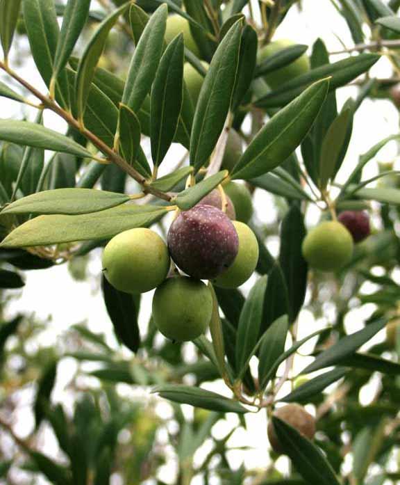 Olivesontree