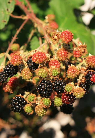 Blackberry_scones_1