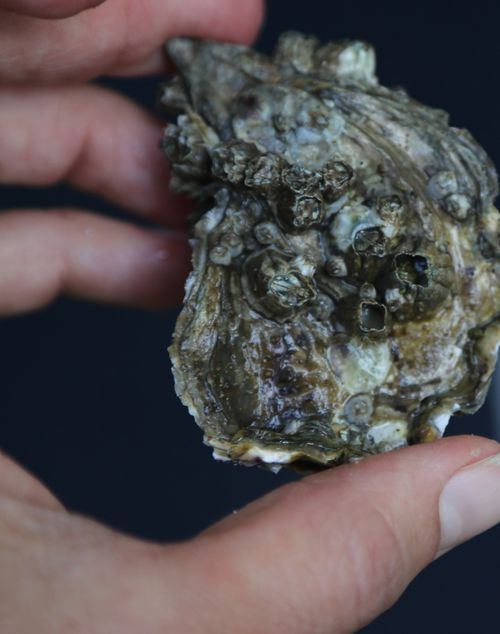 Tomales_bay_oyster_company_10