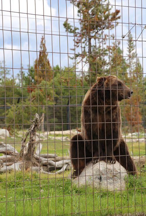 Grizzly_wolf_discovery_center_wy_yellowstone_1